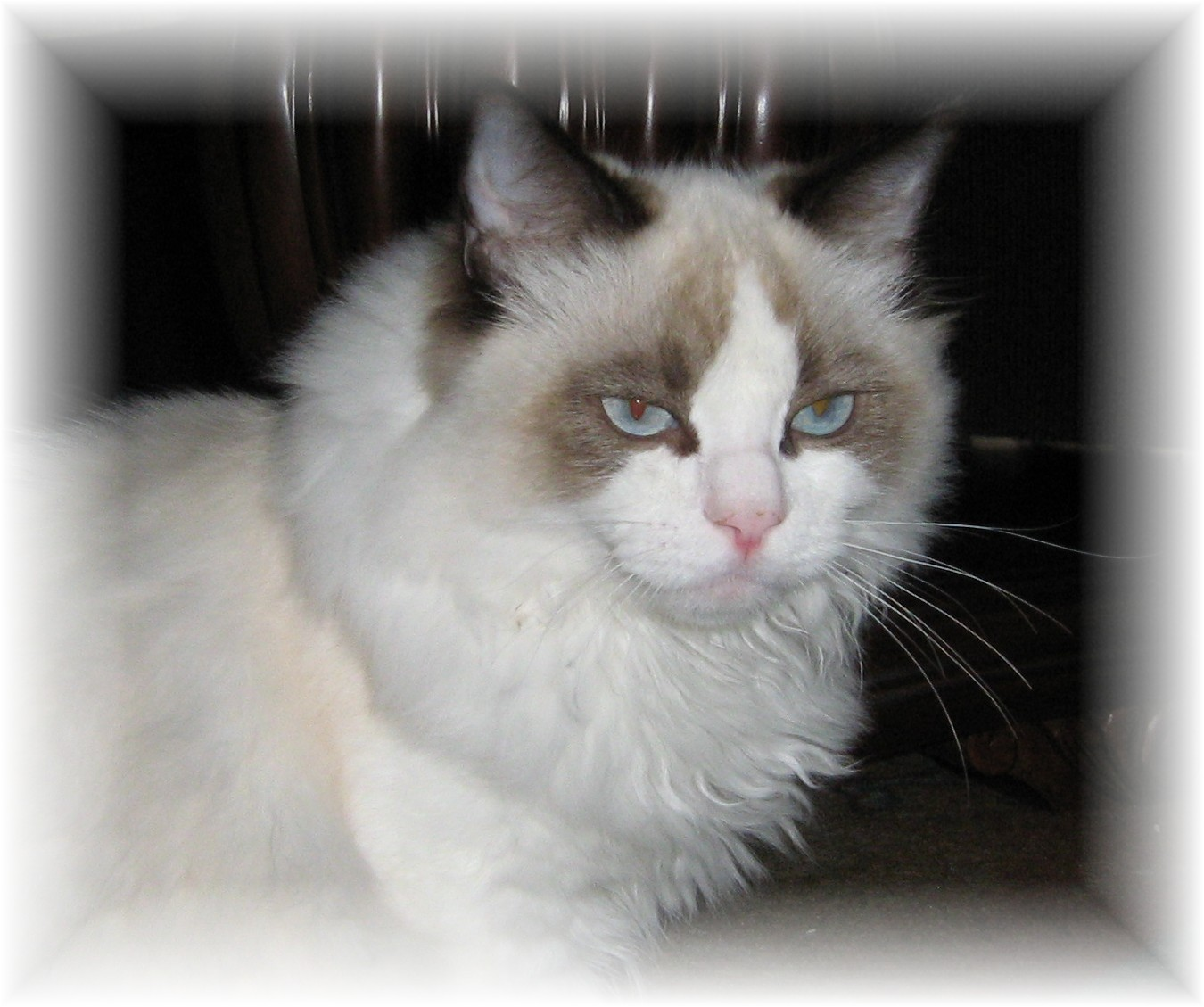 bordeaux ragdoll kittens the pictures below are two show quality boys who have gone to their wonderful homes the top line are two seal bicolor boys out of grand champion silhouette