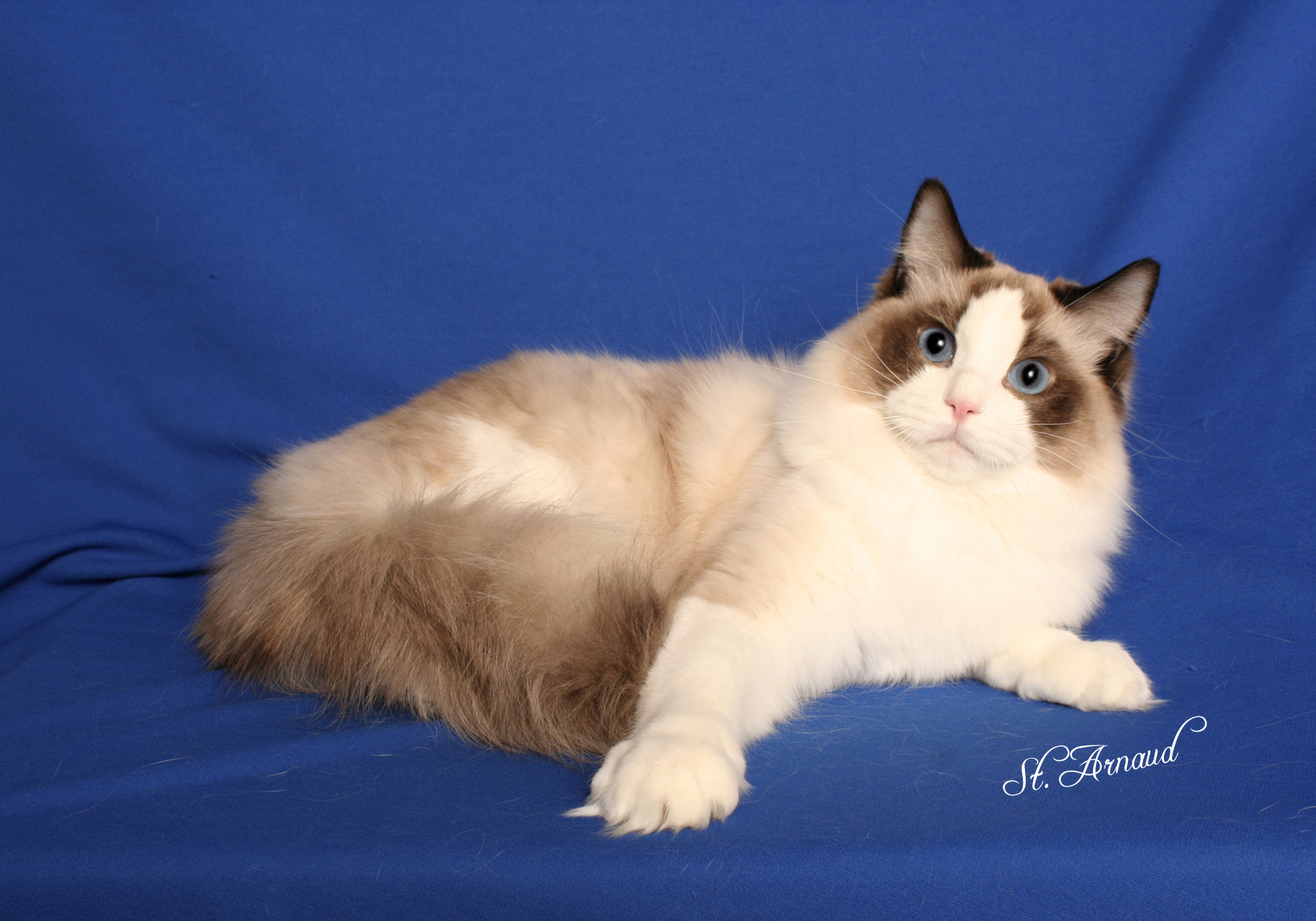 bordeaux ragdoll cats danny has gone to live sunhee in korea to make beautiful korean ragdolls in 2012 danny was shown in korea at a tica show and earned the title of tica