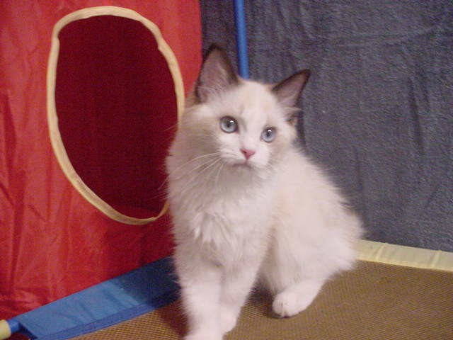 Bordeaux Ragdoll Kittens